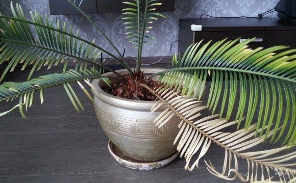 комнатный цветок, пальма