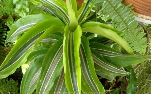 Dracaena deremensis (Драцена