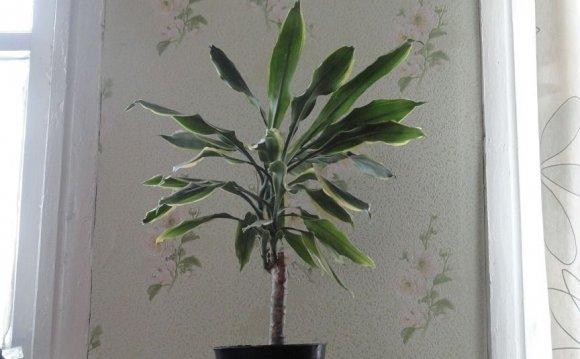 Драцена Sanderiana (высота
