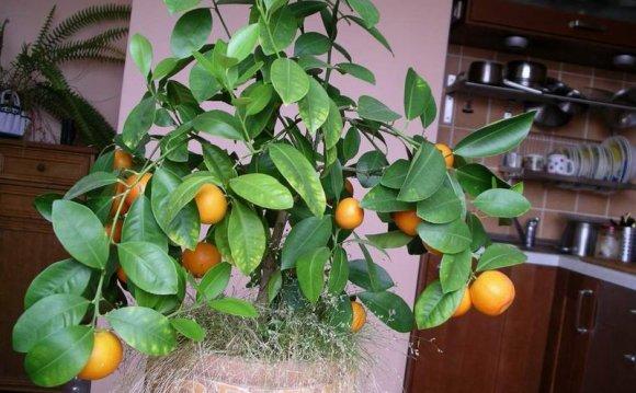 Как вырастить финиковую пальму