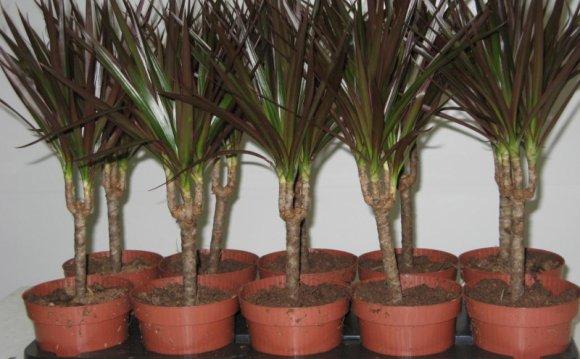 Горшки с пальмами