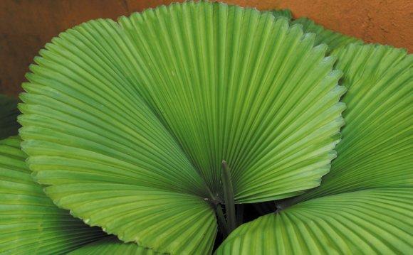 Комнатная пальма ликуала