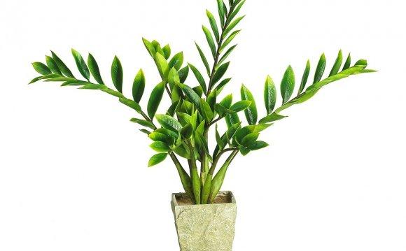 Замиокулькас растение не