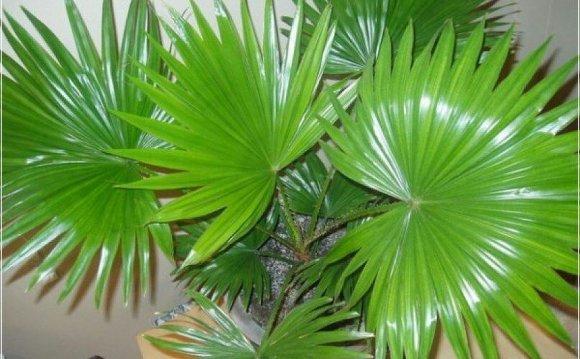 🌴 Ливистона - веерная пальма