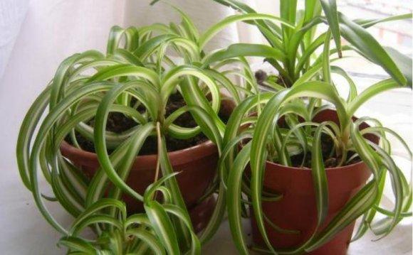 оксалис луковичный комнатный