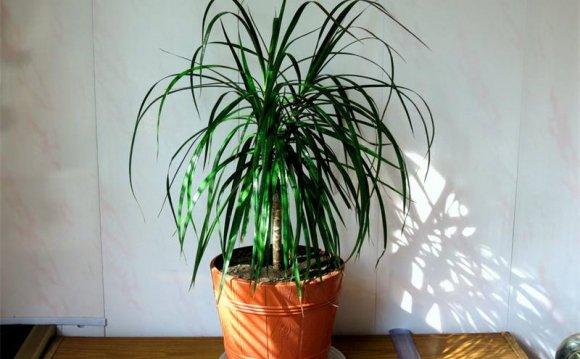 Выращивание драцены в домашних
