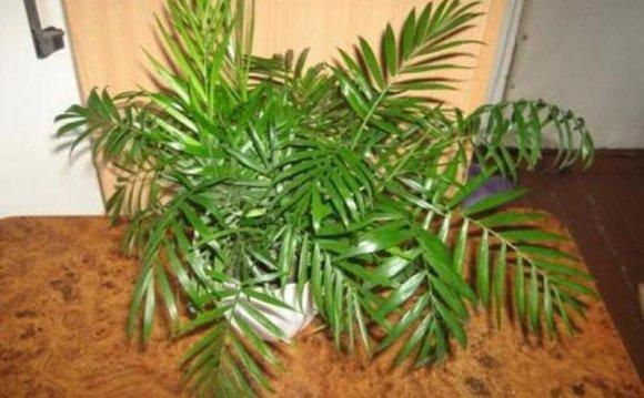 Комнатная пальма - Хамедорея
