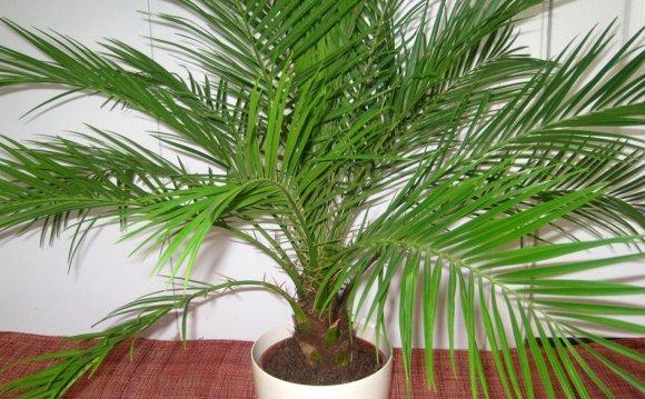 Пальма из сочи в домашних