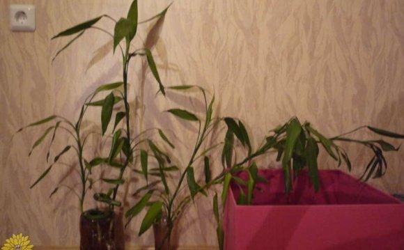 размножение бамбука счастья!