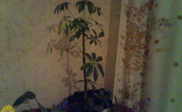 Листья шеффлеры коричневеют и