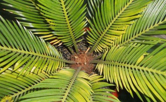 У цикаса желтеют листья