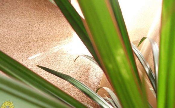 У драцены жилки листьев