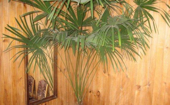 Веерная пальма Трахикарпус