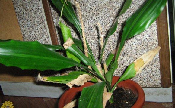 Желтеют старые листья(