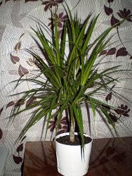 драцена пальма уход в домашних условиях фото
